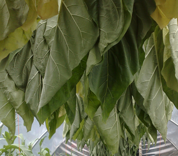Tobacco plants hung up to dry