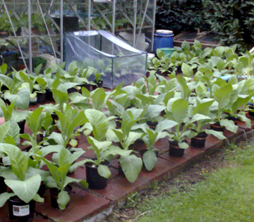 Young tobacco plants