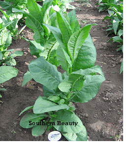 Southern Beauty Tobacco Plant